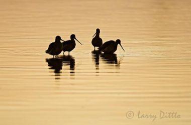 Marbled Godwit, Aransas Bay, Texas, winter sunset