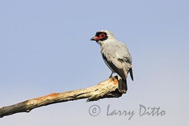 Masked Tityra, male, Los Ebanos Ranch, Tamaulipas, Mexico, May