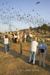 bats, Mexican free-tailed-7_Larry_Ditto