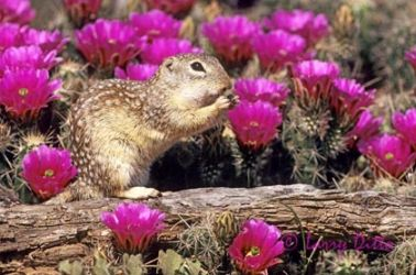 mexican_ground_squirrel_2_Larry_Ditto