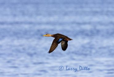 mottled_duck_2_larry-ditto