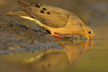 Mourning Dove (Zenaida macroura) at water, s. Texas, spring