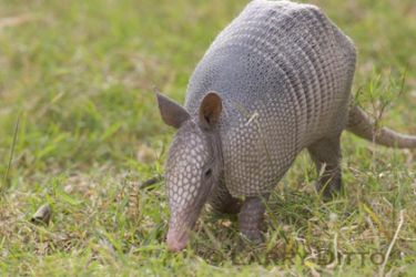 nine-banded-armadillo-3_Larry_Ditto