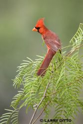 northern_cardinal_4_larry-ditto