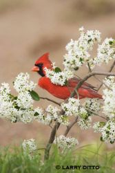 northern_cardinal_larry_ditto
