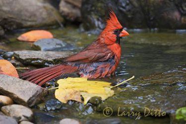 Northern Cardinal (Cardinalis cardinalis) adult male bathing, North Carolina