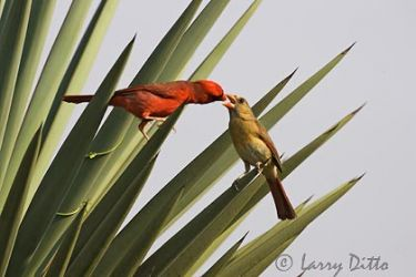 northern_cardinal_larry_ditto_x0z4177