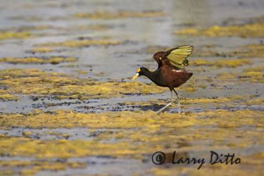 northern_jacana_larry_ditto