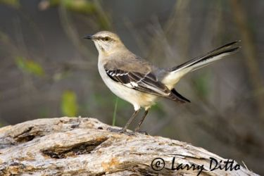 northern_mockingbird_larry_ditto-