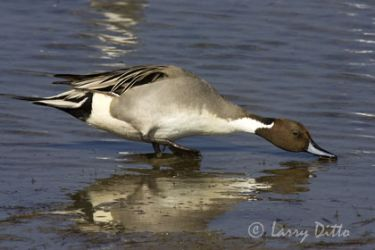 northern_pintail_larry_ditto