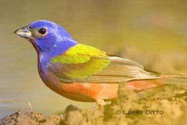 painted-bunting_larry-ditto