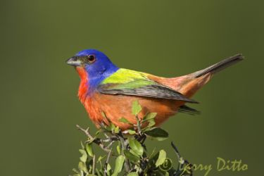 painted_bunting_Larry_Ditto_5115