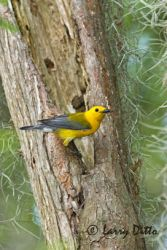 prothonotary_warbler_larry_ditto_crw2579