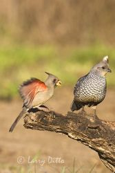 pyrrhuloxia_and_scaled_quail_larry_ditto_x0z2387