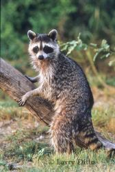 raccoon-by-log_Larry_Ditto