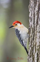 Red-bellied Woodpecker (Melanerpes carolinus) male, northeast Texas, spring