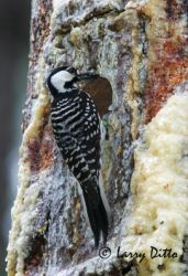 red-cockaded-woodpecker_larry_ditto