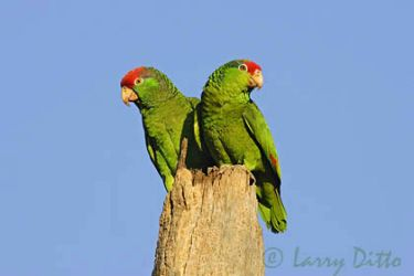 red-crowned_parrot_larry_ditto_x0z6716