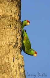red-crowned_parrots_larry_ditto_x0z6622