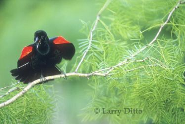 red-winged-blackbird_Larry_Ditto