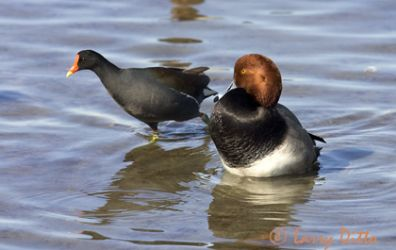 redhead-duck-4larry-ditto