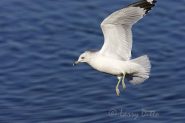 ring-billed_gull_larry_ditto
