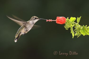 ruby-throated-hummingbird-3_Larry_Ditto