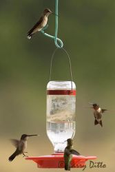 ruby-throated_hummingbirds_at_feeder_2_Larry_Ditto