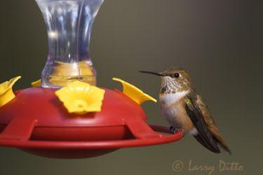 rufous-hummingbird-3_larry_ditto