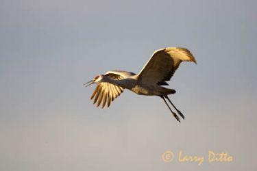 Sandhill Crane (Grus canadensis) landing, winter
