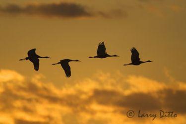 sandhill_cranes_larry_ditto_x0z7442