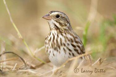Savannah Sparrow (Passerculus sandwichensis) adult, Texas, winter