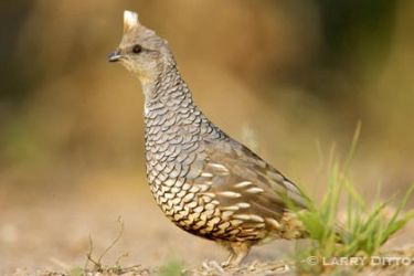 scaled-quail_4_larry-ditto_x