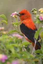 scarlet_tanager_larry_ditto_x0z2209