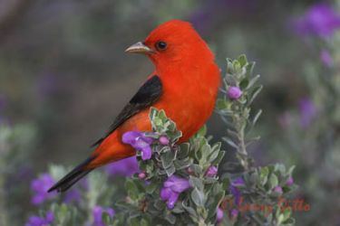 scarlet_tanager_larry_ditto_x0z2409