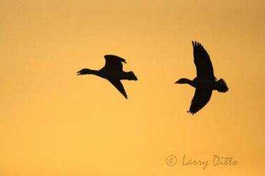 snow_geese_larry_ditto_x0z6567