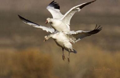 Snow Geese (Chen caerulescens) juvenile and adult landing, winter
