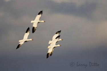 Snow Geese (Chen caerulescens) in flight, winter