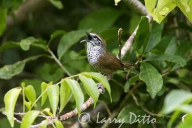 spot_breasted_wren_larry_ditto_x0z3975