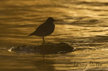 spotted_sandpiper_larry-ditto