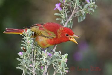 summer_tanager_larry_ditto_x0z2443