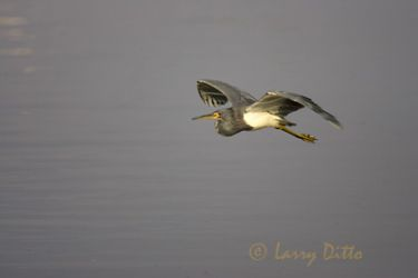 tricolored-heron-2_larry-ditto