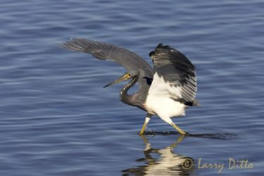 tricolored-heron_larry-ditto