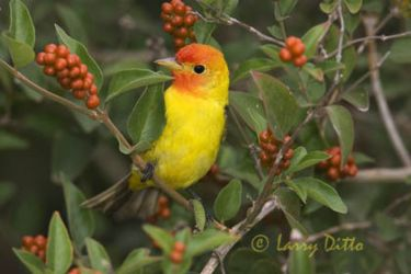 western_tanager_larry_ditto_x0z2343