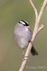 white-crowned_sparrow_Larry_Ditto_38