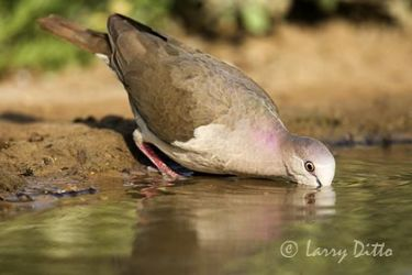 White-tipped Dove (Leptotila verreauxi) drinking, s. Texas, spring