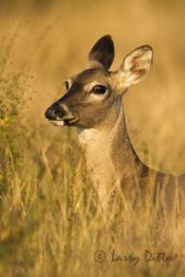 white-tailed-deer-3_larry-ditto