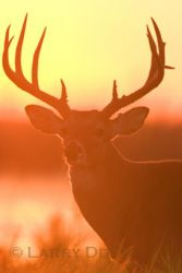 white-tailed-deer-4_larry_ditto