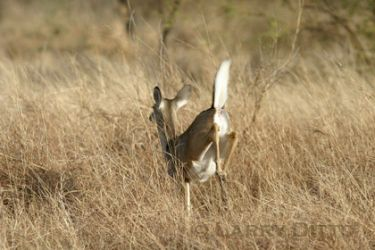 white-tailed-deer-5_Larry_Ditto