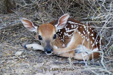 white-tailed-deer-fawn_Larry_Ditto